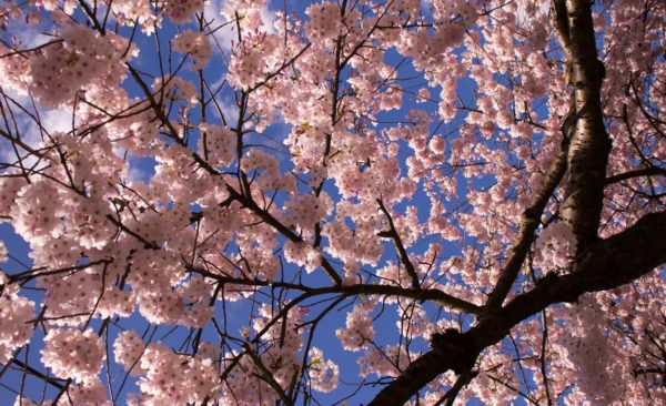 Photo of pink cherry blossoms under a blue sky, taken during the Vancouver Cherry Blossom Festival